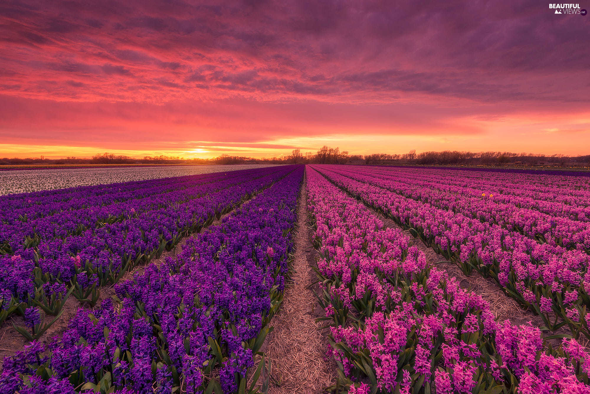 Great Sunsets, Flowers, Hyacinths, Field