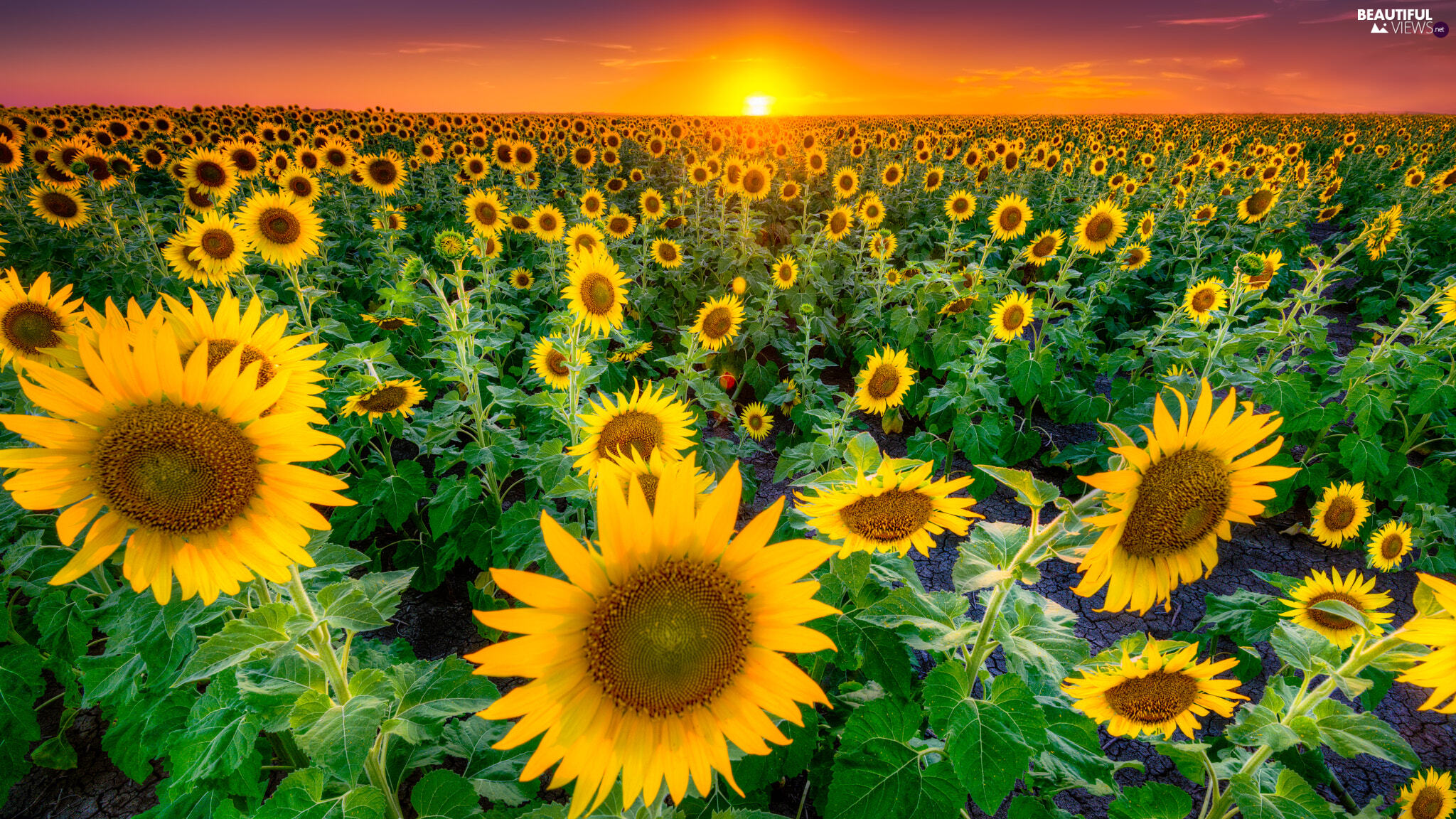 Field, Sky, Great Sunsets, Nice sunflowers
