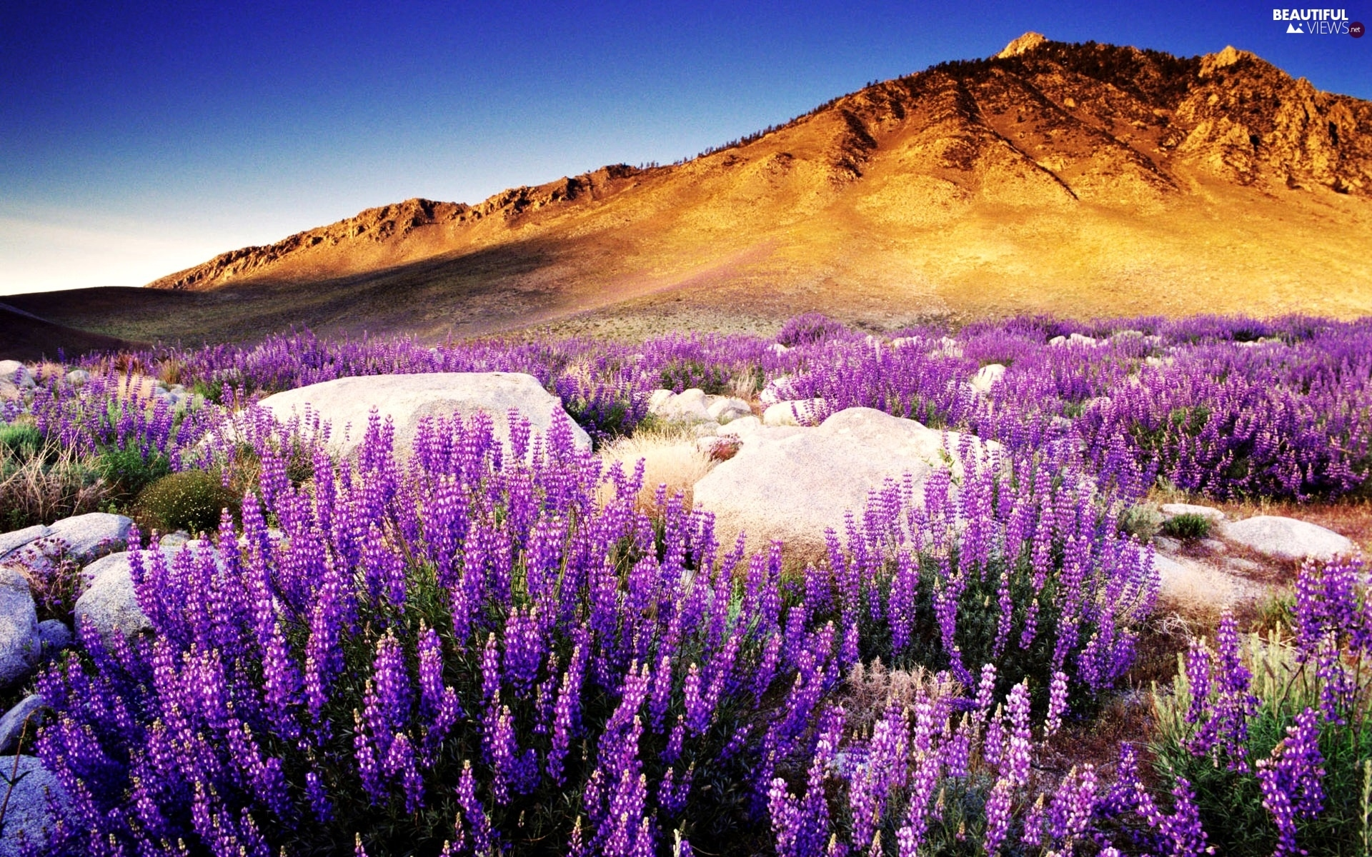 The Hills, west, flower, lupine, boulders, sun