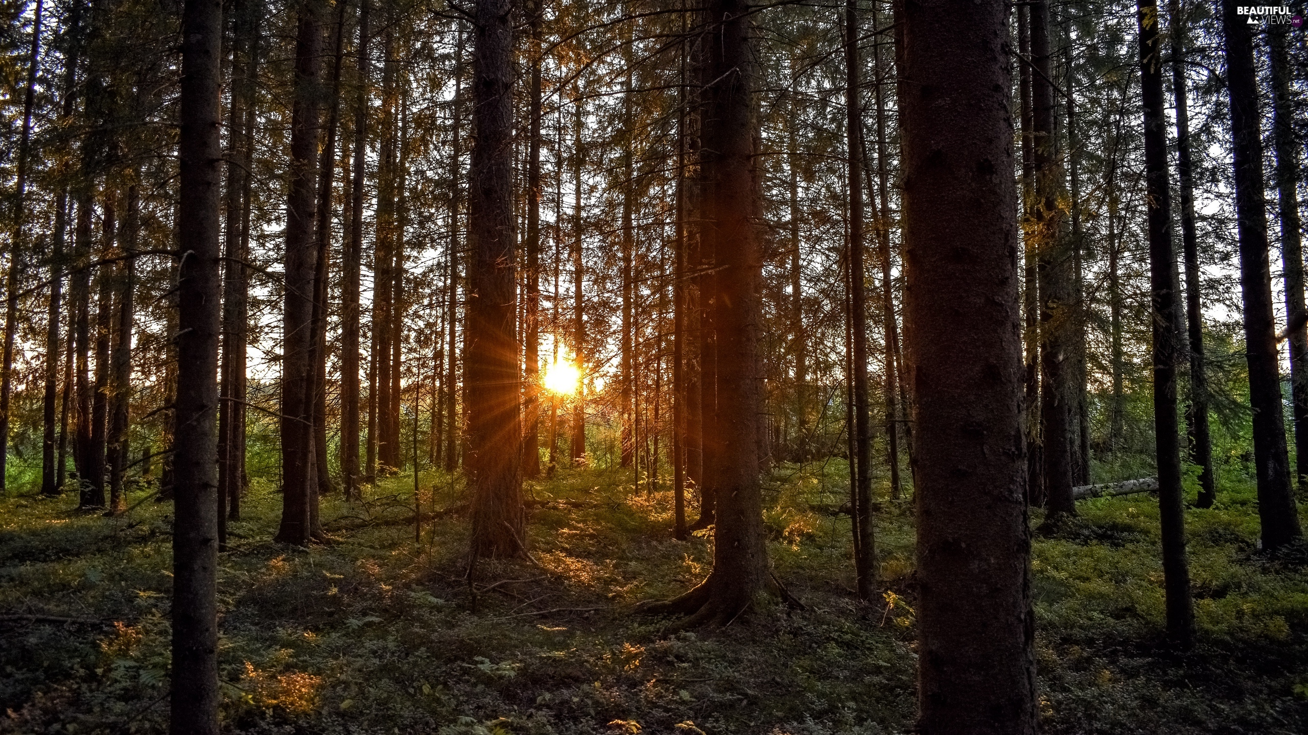 Conifers, rays of the Sun, forest