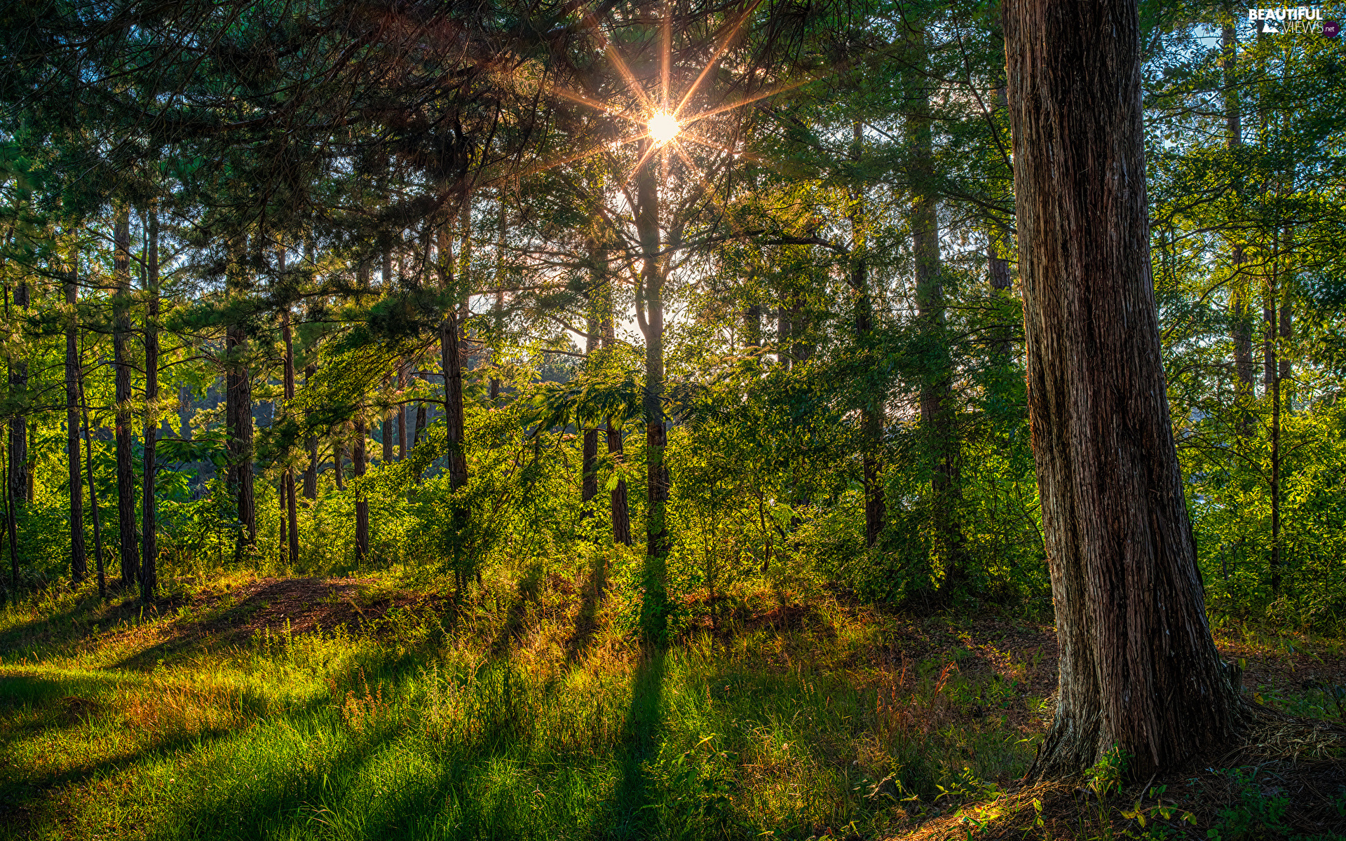 viewes, trunk, rays of the Sun, trees, grass, trees, forest, viewes
