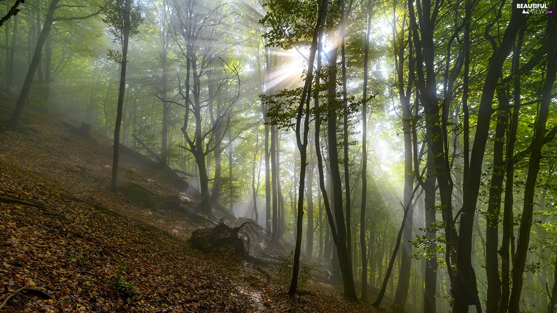 trees, forest, Fog, light breaking through sky, viewes, green ones