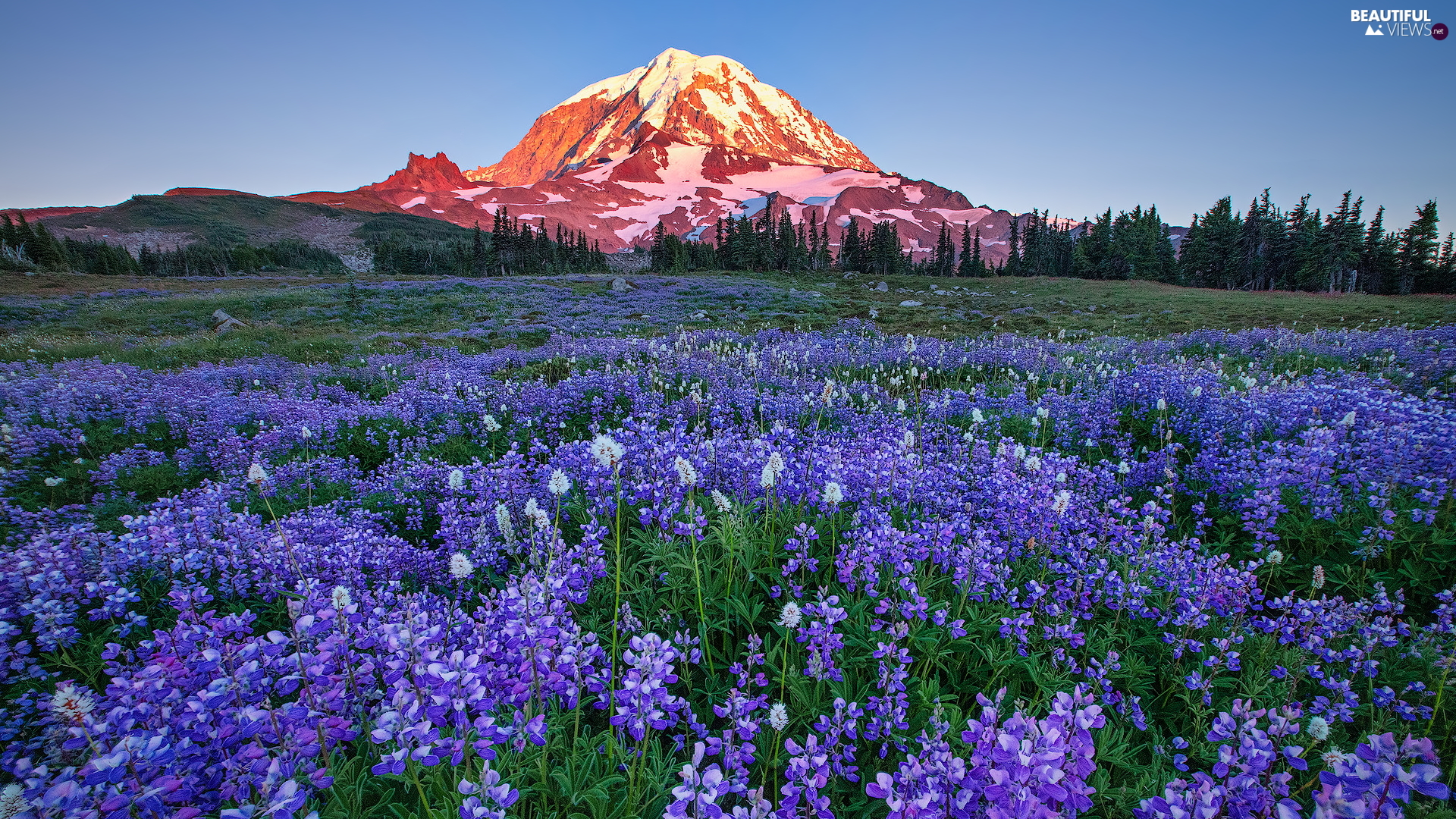 trees, Mountains, viewes, Meadow, Washington State, The United States, lupine, Mount Rainier National Park, Flowers