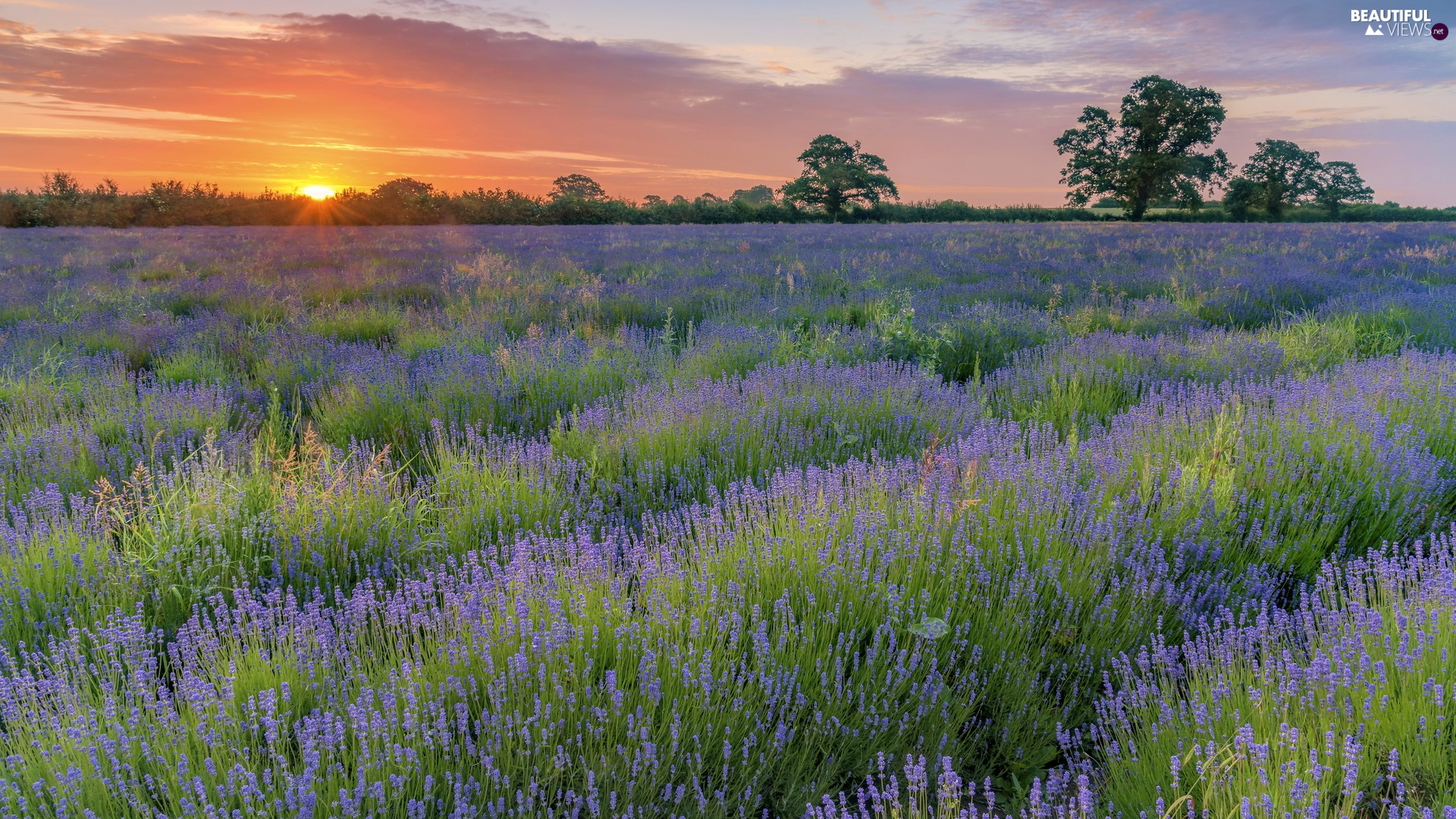 Field, Sunrise, trees, viewes, lavender, clouds