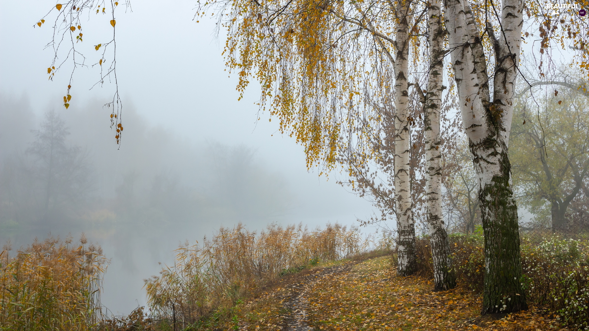 viewes, trees, birch, Yellowed, Fog, River, grass, Path, Leaf
