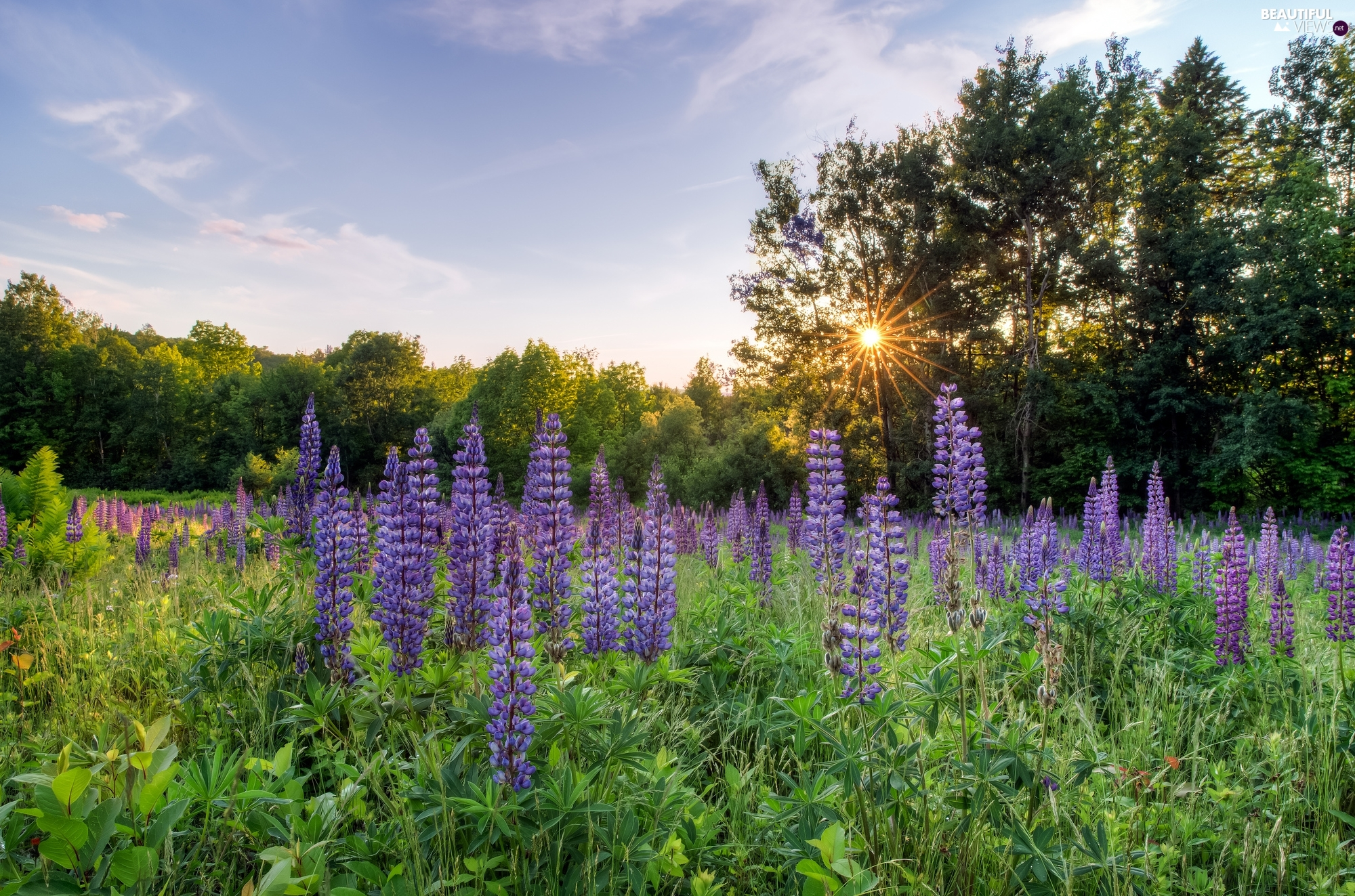 viewes, Meadow, VEGETATION, rays of the Sun, lupine, trees