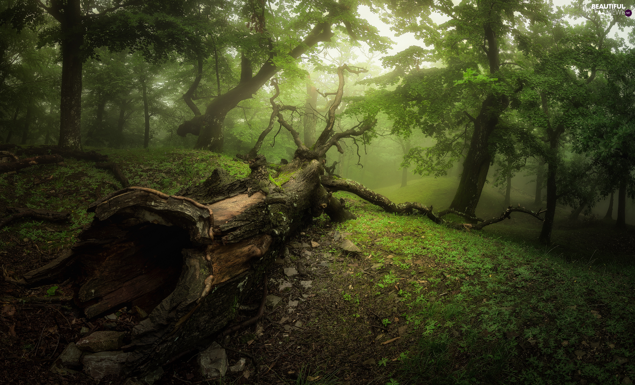 fallen, trees, trunk, viewes, forest, trees, Fog